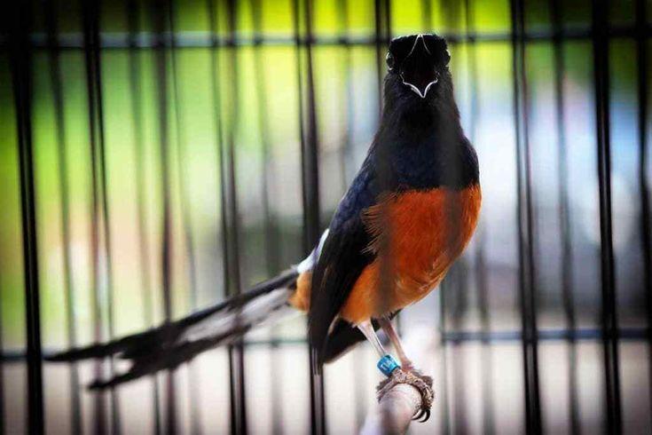 Inilah 5 Fakta Tentang Burung Murai Batu Yang Harus Diketahui Para Pecinta Burung Burung Murai Hewan