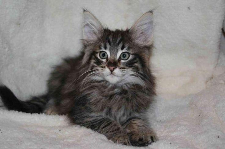 Норвежские лесные кошки, чистопородный норвежский котенок -TОР (Tor North Cape*RU), NFO n 24 (черный табби пятно)