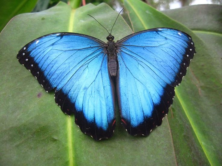 Blauwe morpho's