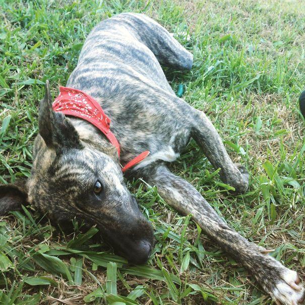 My Gorgeous Italian Greyhound Cross Staffy Corgi Beagle Cocker