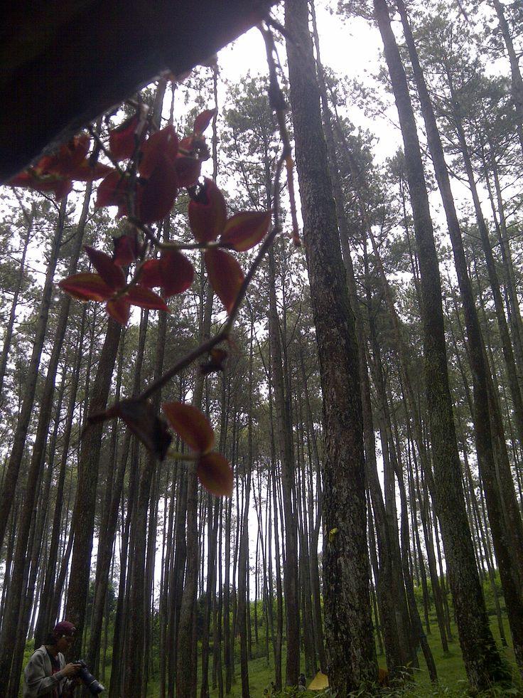 Camping Ground-Hutan Pinus Batu Kuda, Bandung Timur, Jawa Barat, Indonesia.