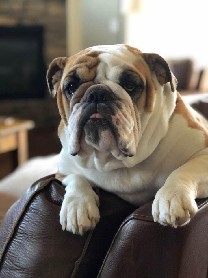 Pin By Katrine Mac On Bulldogs Are Bully Bulldog Puppies