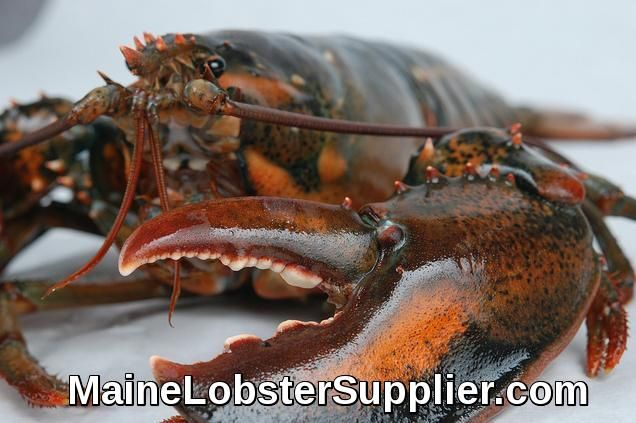 Live Lobster from Maine Year Round It's lobster season all year long from Lobsteranywhere. Live Maine lobster shipped to you or someone special!  https://mainelobstersupplier.com/live-lobsters/