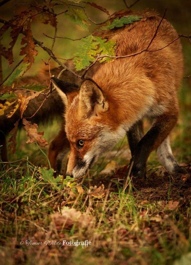Fall Woodland Creatures Wallpaper 122 Best Seasons Autumn Animals Images On Pinterest