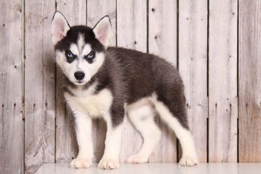 Siberian Husky puppy for sale in MOUNT VERNON, OH. ADN-52100 on PuppyFinder.com Gender: Female. Age: 8 Weeks Old