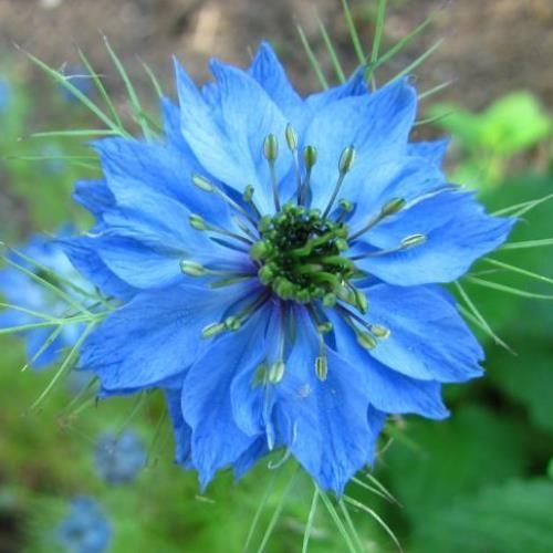 'Juffertje-in-het-groen' / Muskaat-bloem - Eetbare Bloemetjes - Van huis uit Biologisch en 't verst! | Vers van Cees