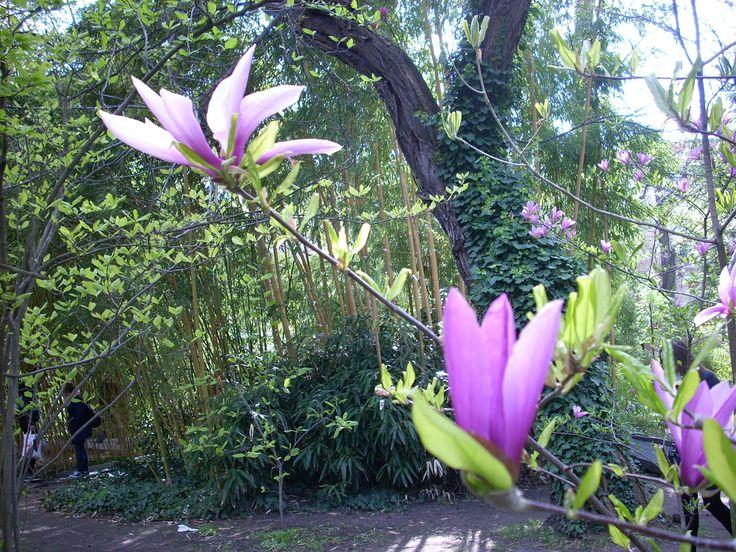 Magnolia, Budapest, Elte Füvészkert
