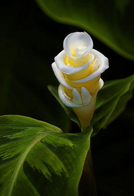 Ginger Flower ~Fairchild Tropical Botanical Garden By Pedro Lastra