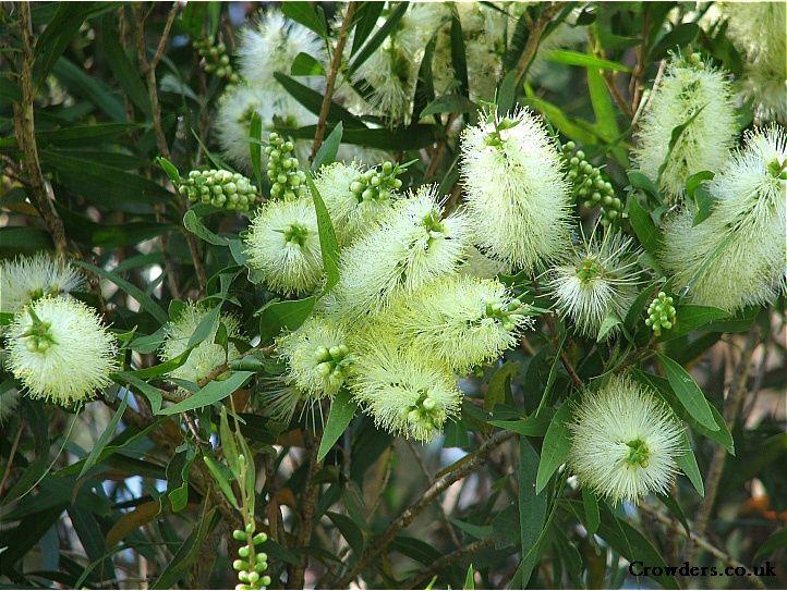 bottle brush shrub   ... Callistemon Salignus or White ...