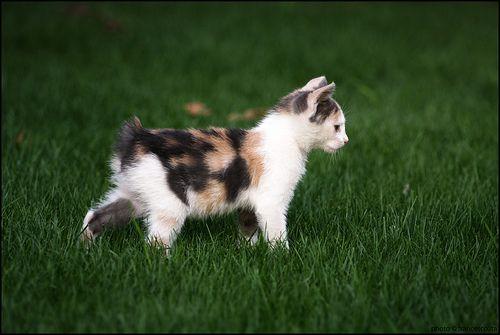 #dogalize Razas Felinas: Gato Manx carácter y características #dogs #cats #pets