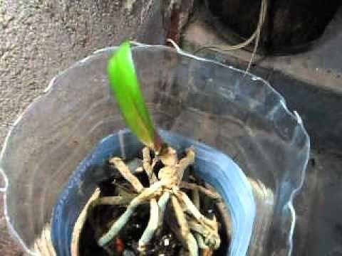 Ressuscitando orquídea da cunhada - YouTube