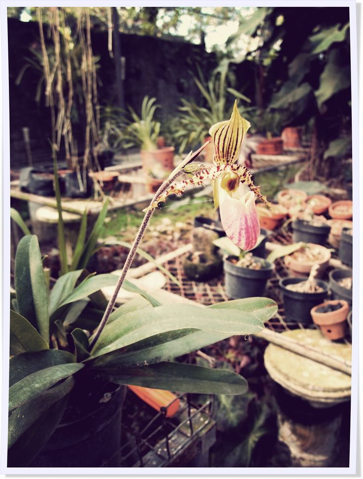 A Bali, un Français est passé maître dans les orchidées... Nous l'avons interviewé.  http://www.lagazettedebali.info/journal/articles/portraits/les-orchidees-lui-donnent-toujours-plein-d-idees.html?date=2014-08