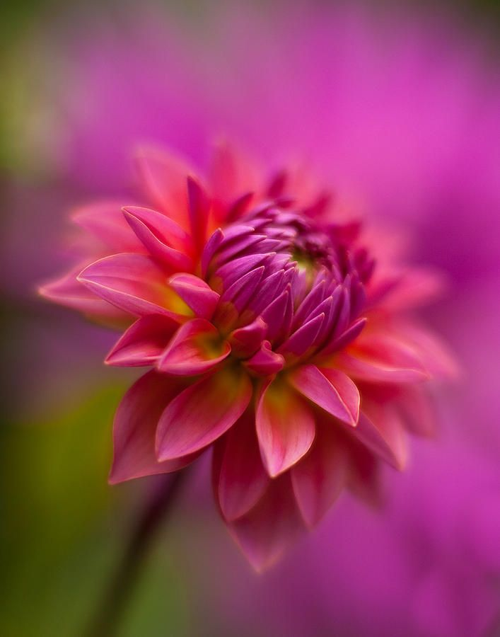 ~~Dahlia Burst by Mike Reid~~