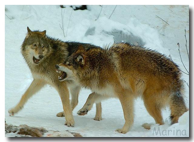 """I said it's mine!"" ""Whoa! Ok!""  Wolves of Ely, Minnesota International Wolf Center by Marina Castillo"
