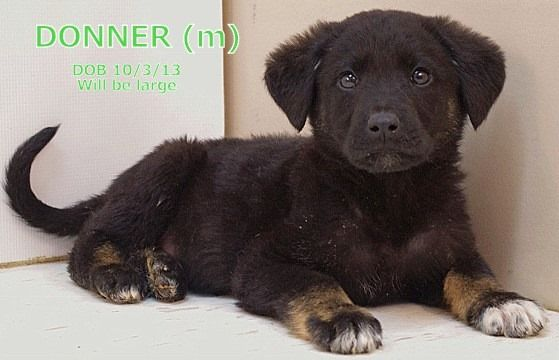 Donner, like his littermates, is a large pup and appears to be a purebred German Shepherd Dog----UNTIL you get to his toes!  Donner's toes are tipped with white, allowing his Pyrenees side to peek through.  Donner is mellow boy that is content to...