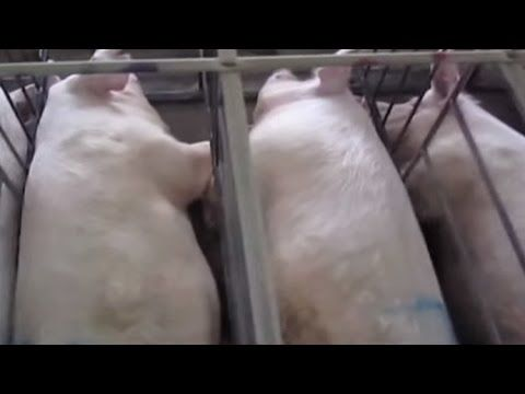 Pork Industry Forced To Admit They Use Banned Chemical