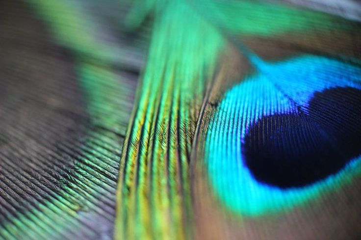 #peacock #feather