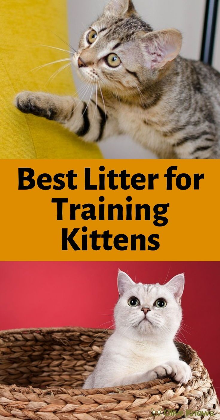 Best Litter For Training Kittens You Ll Be Happy Too Oliveknows Cat Training Litter Training Kittens