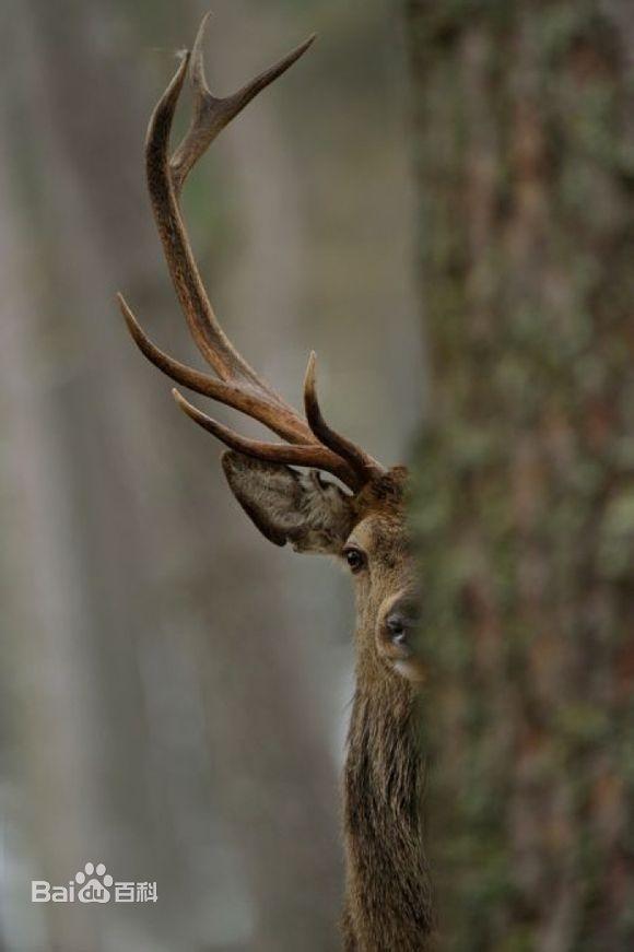 Louisiana Deer Map%0A  OneTigris u     share A deer is hiding behind a tree  exposing half his