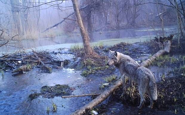 Wildlife is absolutely thriving at Chernobyl disaster site