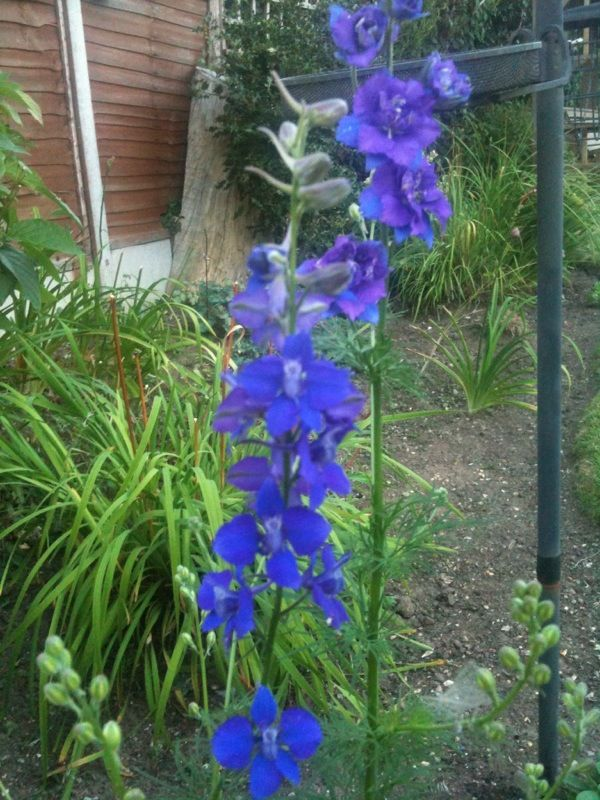 Larkspur Or Delphinium (delphinum species): ~250 species of annuals, biennials and perennials found nearly worldwide, mostly in the mountains of any given area.