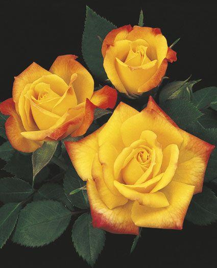 JP: Rainbow's End™ (Rise 'n' Shine) - Deep Yellow Blushing Orange-red Miniature Roses