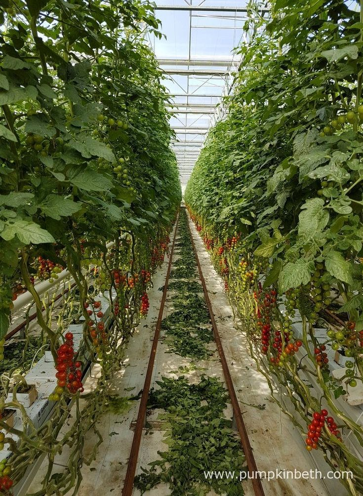 Rows of cherry tomatoes growing inside the glasshouses at Eric Wall Ltd in Barnham, Chichester, West Sussex.