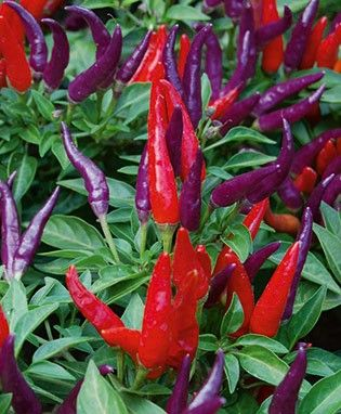 Sangria Pepper - Ornamental and edible pepper in shades of orange, crimson, red and purple with a finale of deep purple | @Bonnie Plants
