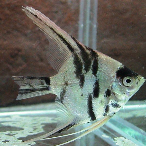 Marble Pearlscale Angelfish Maanvissen