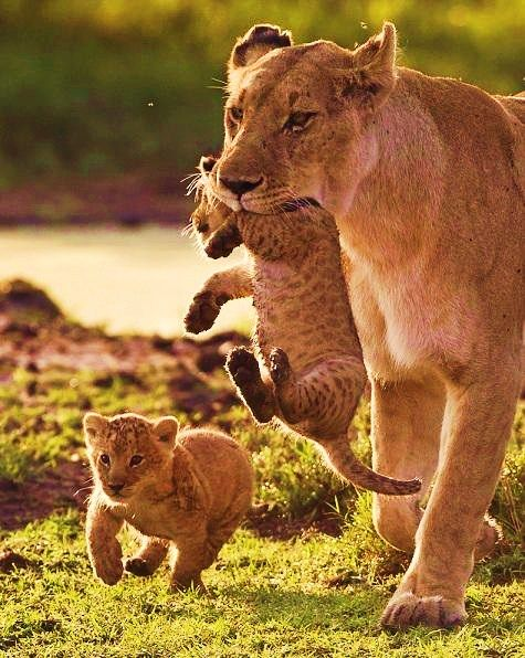 magicalnaturetour:      LION FAMILY by Paul Goldstein