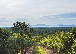 South Balaton Vineyards