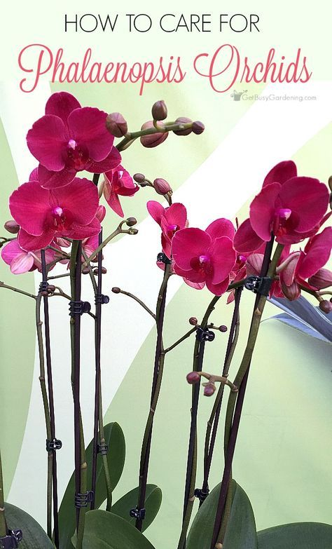 17 best ideas about orchid plants on pinterest orchid plant care orchids and growing orchids - How to care for potted orchids ...