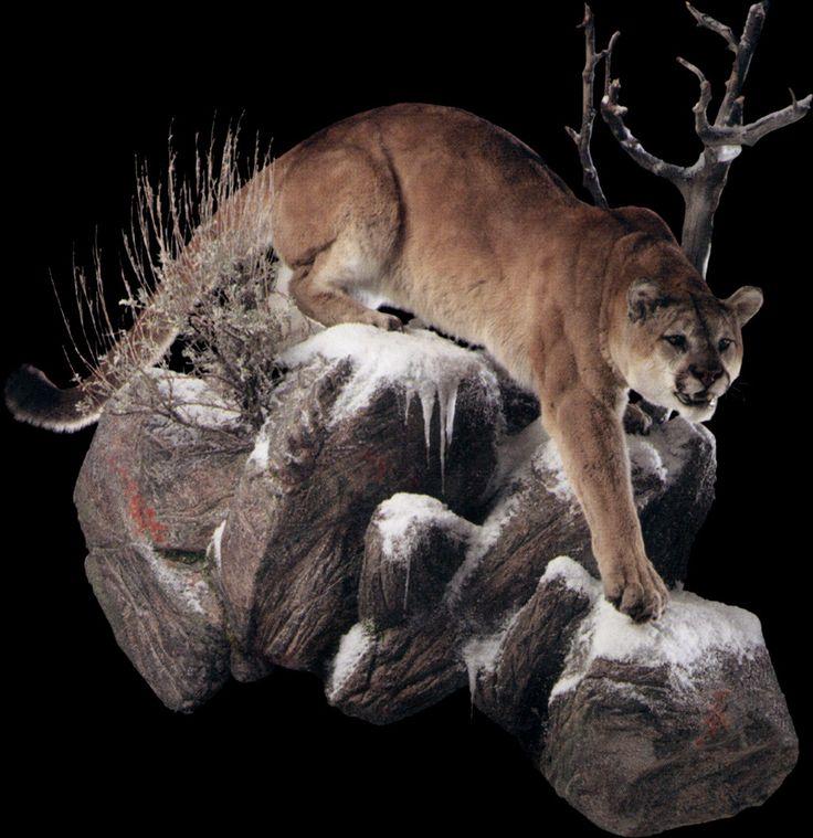 Stalking Mountain Lion – Pose #1 – Animal Artistry