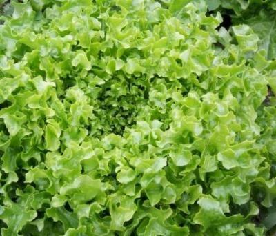Lettuce – Green Salad Bowl Organic Heirloom