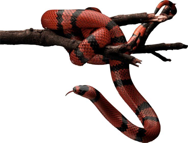 Red Black Brown Polyvore Moodboard Filler Snake Red And Black Snake Snake Images Snake