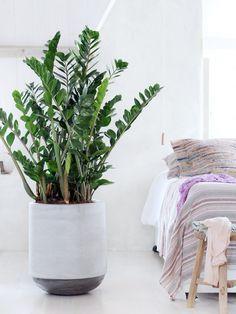 Zamioculcas ist der Ruhepool im Schlafzimmer - www.pflanzenfreude.de
