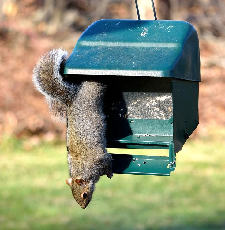 Best 25 Anti Squirrel Bird Feeder Ideas On Pinterest