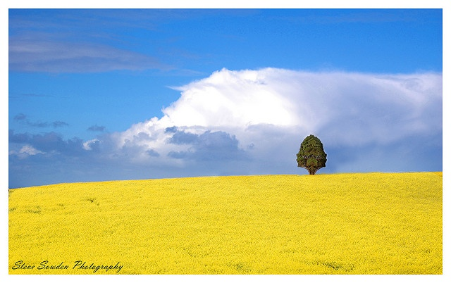 Geelong Canola Field by Steve Sowden, via Flickr