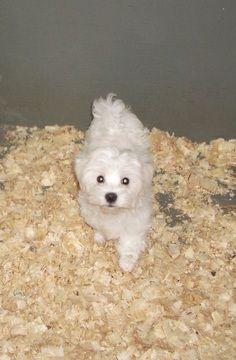 Maltese puppy for sale in CARROLLTON, GA. ADN-27314 on PuppyFinder.com Gender: Male. Age: 14 Weeks Old