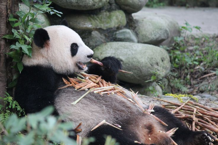 Who needs a tray when you have a tummy as big as this? Pandas are incredibly fussy about what they eat: just a few species of bamboo shoots are acceptable. Though what they lack in variety, they make up for in quantity, as they eat 20 to 30 pounds of bamboo shoots daily.