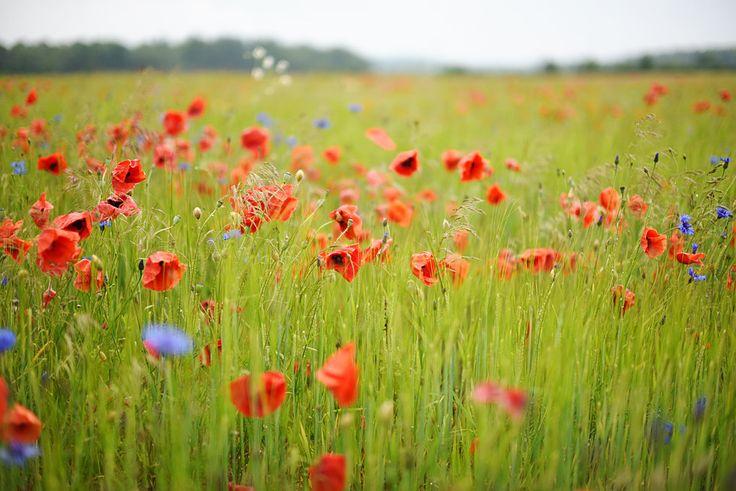 flower fields.