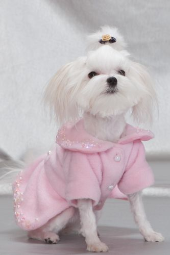 haircuts for maltese dogs | haircuts for maltese dogs image search results