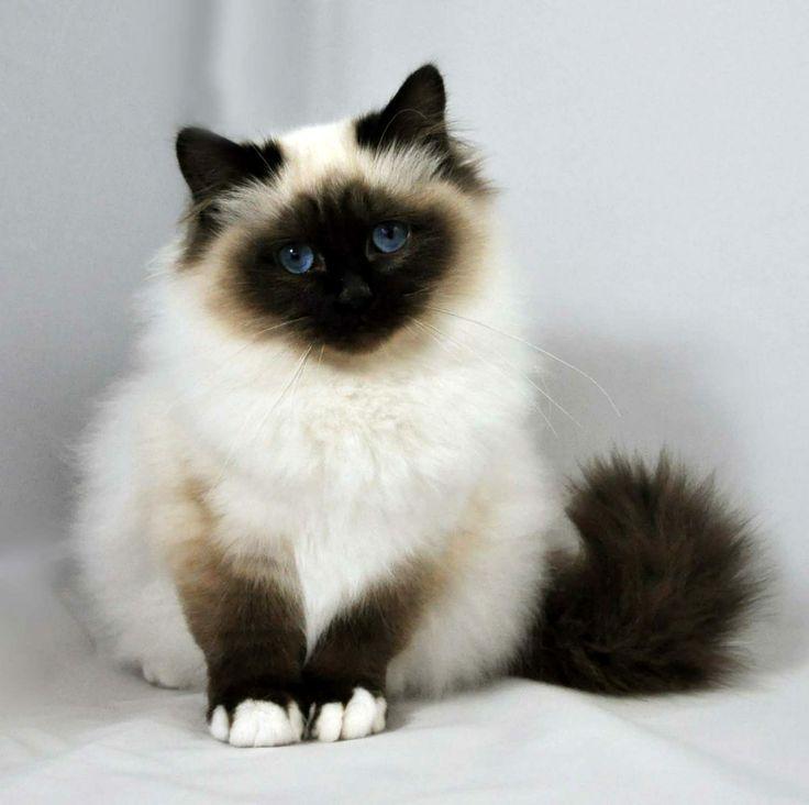 Gato Sagrado De Birmania Angora Cats Siamese Cats For Sale Cats And Kittens