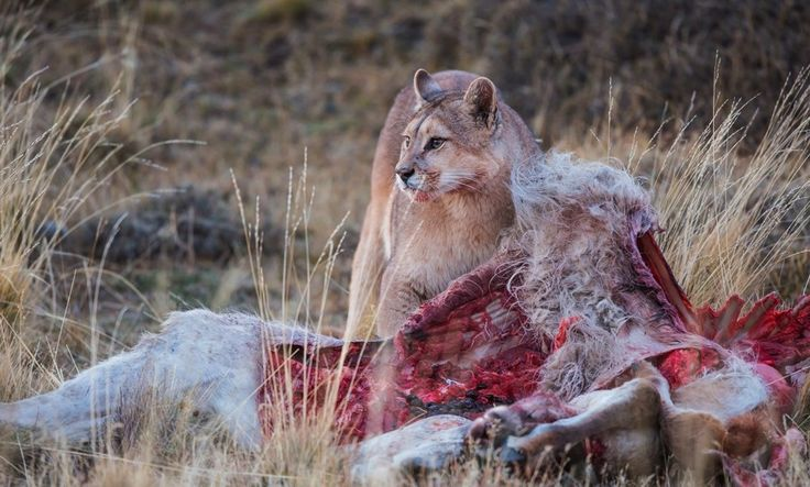 puma lunch in torres del paine , patagonia , Chile