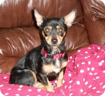 Hagerstown, MD - Miniature Pinscher/Chihuahua Mix. Meet Searcy, a dog for adoption. http://www.adoptapet.com/pet/17406494-hagerstown-maryland-miniature-pinscher-mix