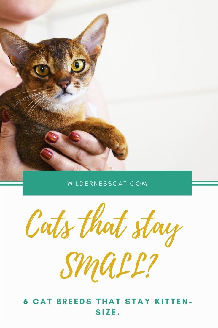 Small Cat Breeds 6 Breeds That Stay Small Wildernesscat Cat Breeds Small Cat Breeds Cats