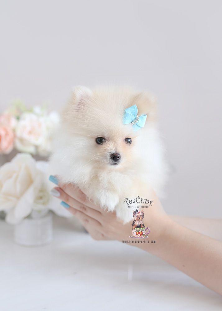 POMERANIAN PUPPY FOR SALE - PetsKona.com