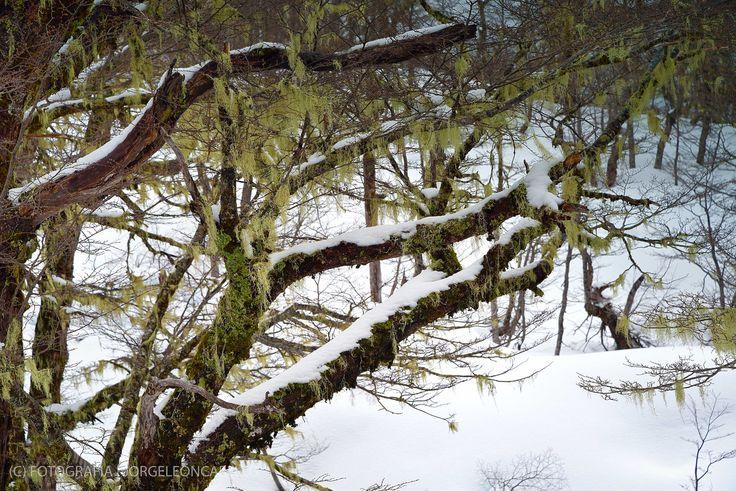 Liquenes y ramas - Reserva Biológica Huilo Huilo (Mocho Choshuenco - Chile)