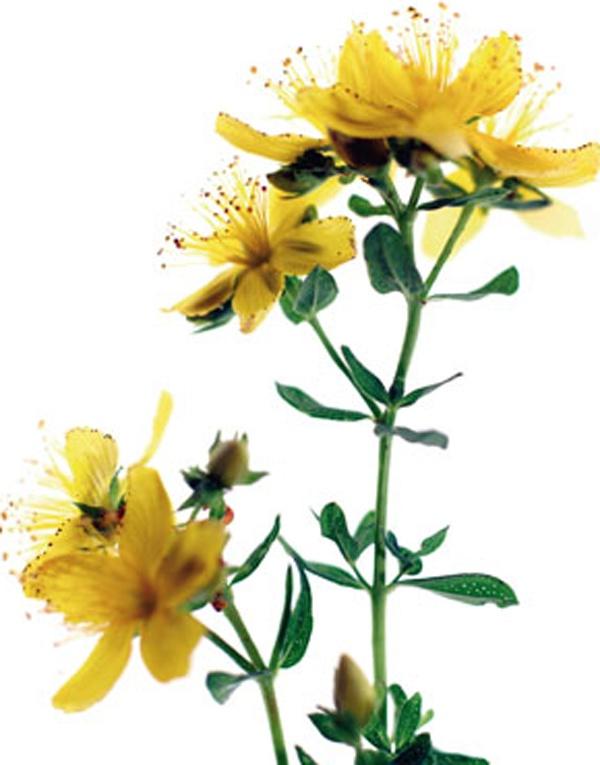 Aboca Botanical Art Flowers Iperico, Books & Prints - ABOCA