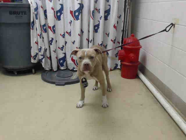 11/16/16-HOUSTON - SUPER URGENT - HIGH KILL FACILITY IS OVER CAPACITY -GOKU - ID#A472274 My name is GOKU I am a male, yellow brindle and white Pit Bull Terrier. My age is unknown. I have been at the shelter since Nov 13, 2016. This information was refreshed 41 minutes ago and may not represent all of the animals at the Harris County Public Health and Environmental Services.